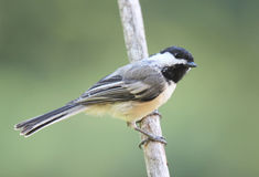 Perching Black Capped Chickadee Stock Photography