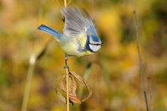 Perching Blue tit take-off Royalty Free Stock Images