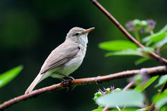 Perching Blyth's reed warbler Stock Photos