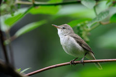 Perching Blyth's reed warbler Royalty Free Stock Image
