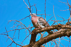 Perching on the Bough. Common Wood pigeon (Columba palumbus) Perching on the Bough Royalty Free Stock Images