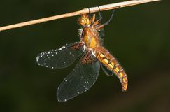 A perching Broad-bodied Chaser Libellula depressa with water droplets on its wings. Stock Photography