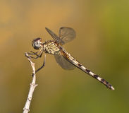 Perching Brown and Gold Dragonfly Stock Photo