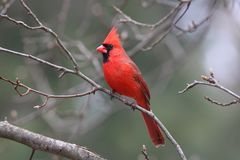 Perching cardinal do norte em ramos do inverno fotografia de stock royalty free