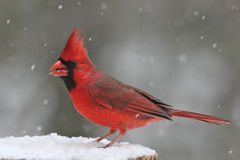 Perching Cardinal. A male Northern Cardinal (Cardinalis cardinalis) perching on a tree stump on a snowy day in winter Royalty Free Stock Image