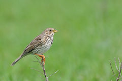 Perching Corn Bunting in steppe Stock Photo