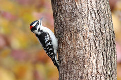 Perching Downy Woodpecker in Fall Stock Images