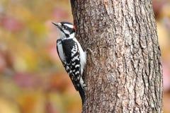 Perching Downy Woodpecker Stock Photos