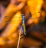 Perching dragonfly Stock Image