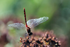 Perching Dragonfly Royalty Free Stock Images