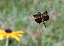 Perching Dragonfly. A widow skimmer dragonfly (Libellula luctuosa) perches on a stem with a yellow rudibeckia goldsturm flower in the background Royalty Free Stock Photo