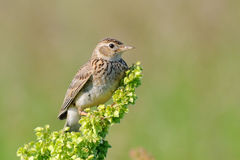 Perching Eurasian Skylark Royalty Free Stock Images