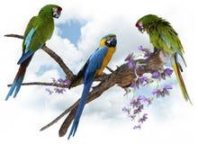 Perching för Macawpapegojor royaltyfria foton