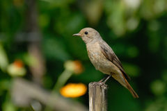 Perching female Redstart Stock Photo