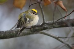 Perching goldcrest Stock Image