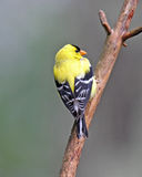 Perching Goldfinch Royalty Free Stock Image