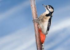 Perching Great Spotted Woodpecker in winter Royalty Free Stock Photos