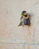 Perching House Sparrow carrying grasshopper Royalty Free Stock Photos