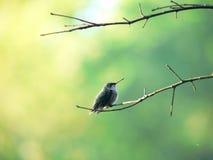 Perching hummerbird 1 Arkivbilder