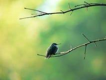 Perching hummerbird 2 Arkivfoton
