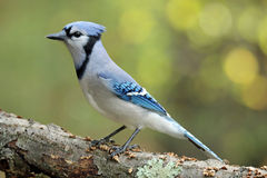 Perching Jay. A blue jay (Cyanocitta cristata) perching on a branch in Fall Stock Images