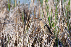 Perching Little bittern hidden in reeds Royalty Free Stock Images