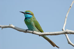Perching Little Green Bee-eater in Dubai emirate of UAE Stock Photo