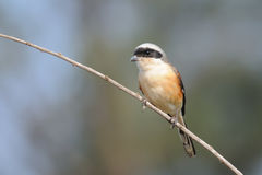 Perching Long-tailed shrike in Goa Stock Images