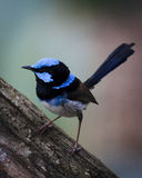 Perching male blue wren. A male blue wren perched on a branch in the Grampians National Park in Victoria Australia Royalty Free Stock Photo