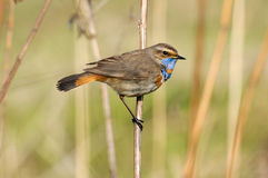 Perching male Bluethroat at dry grass Royalty Free Stock Photography