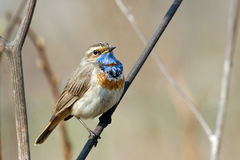 Perching male Bluethroat at dry grass Royalty Free Stock Photo