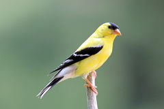 Perching Male Goldfinch Royalty Free Stock Image