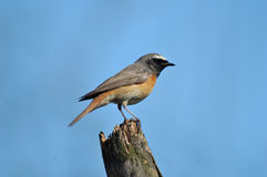 Perching male Redstart Stock Photos