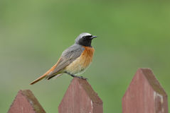 Perching male Redstart at the fence Royalty Free Stock Images