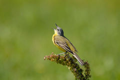 Perching male Yellow Wagtail cries Stock Image