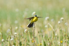 Perching male Yellow Wagtail at dandelion meadow Stock Photos