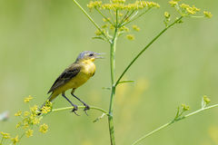Perching male Yellow Wagtail Stock Photo