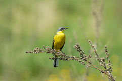 Perching male Yellow Wagtail in summer yellow meadow Stock Images