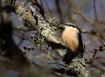 Perching Nuthatch royalty free stock image