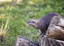 Perching Otter. An Otter on the search for food pearching on a log stock photo