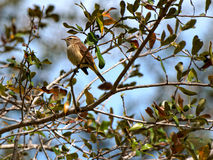Perching Palm Warbler Royalty Free Stock Photos