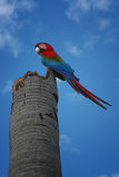 Perching parrot. Scarlet macaw perched on a post looking down Stock Photo