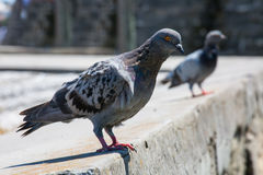 Perching Pigeon. A curious pigeon eyes the photographer in hopes of a handout Royalty Free Stock Images