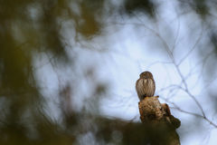 Perching Pygmy Owl at birch tree Royalty Free Stock Photography