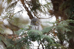 Perching Pygmy Owl at thuja tree Stock Photos