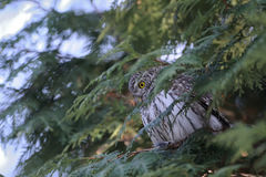 Perching Pygmy Owl at thuja tree Stock Photo