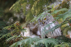 Perching Pygmy Owl at thuja tree Royalty Free Stock Photography