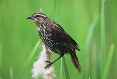 Perching Redwing Blackbird Stock Image
