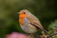 Perching robin Royalty Free Stock Photos