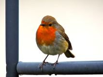 Perching Robin Red Breast Royalty Free Stock Images